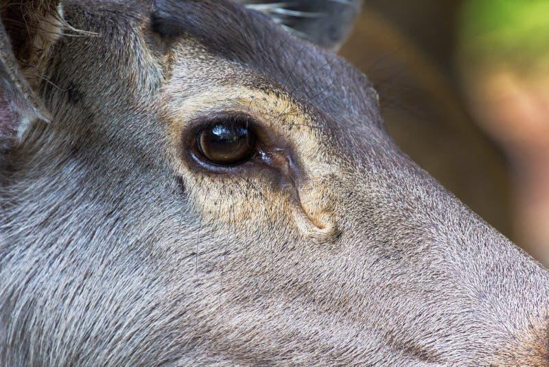Cerfs communs femelles en gros plan sur le visage photos stock