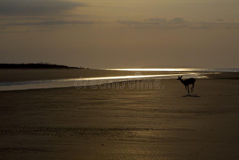Cerfs communs gambadant sur la plage avant lever de soleil à l'île de Seabrook photographie stock libre de droits