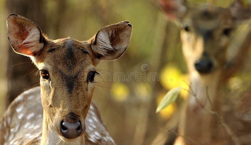 Cerfs communs indiens de faune image stock