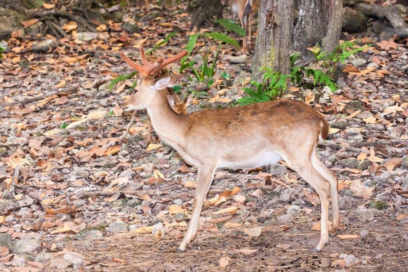 Cerfs communs mâles de Brown dans la forêt photos stock