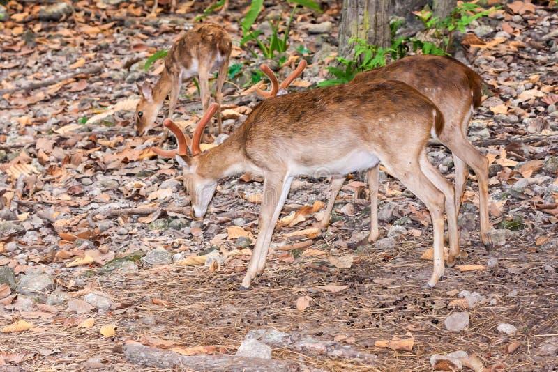 Cerfs communs mâles de Brown dans la forêt photos libres de droits