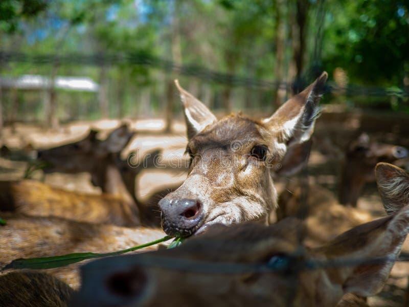 Cerfs communs mangeant l'herbe dans la cage, la fin vers le haut de la vue d'un faon mignon ou les petits cerfs communs images libres de droits