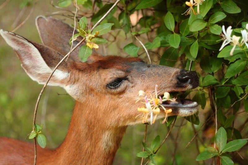 Cerfs communs mangeant le chèvrefeuille image stock