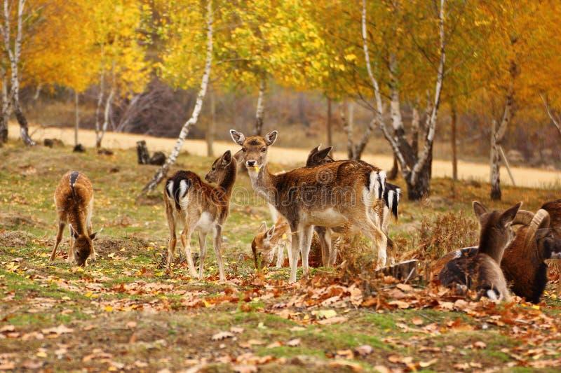 Cerfs communs mangeant une lame image stock
