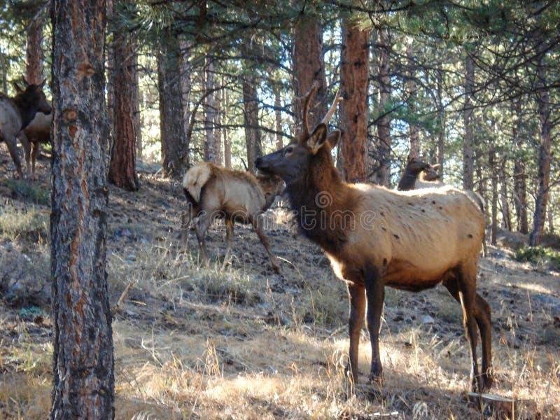 Cerfs communs masculins avec le troupeau frôlant en forêt de Rocky Mountain image stock