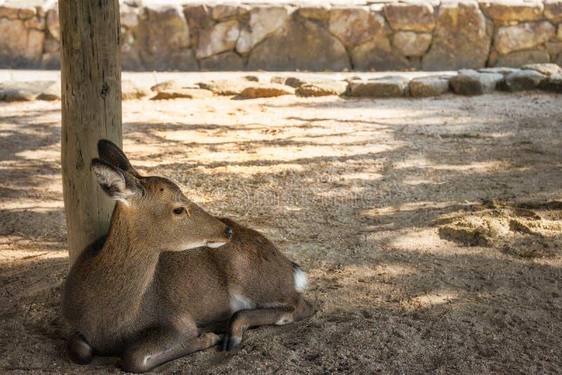 Cerfs communs mignons à l'île de Miyajima, Japon image stock