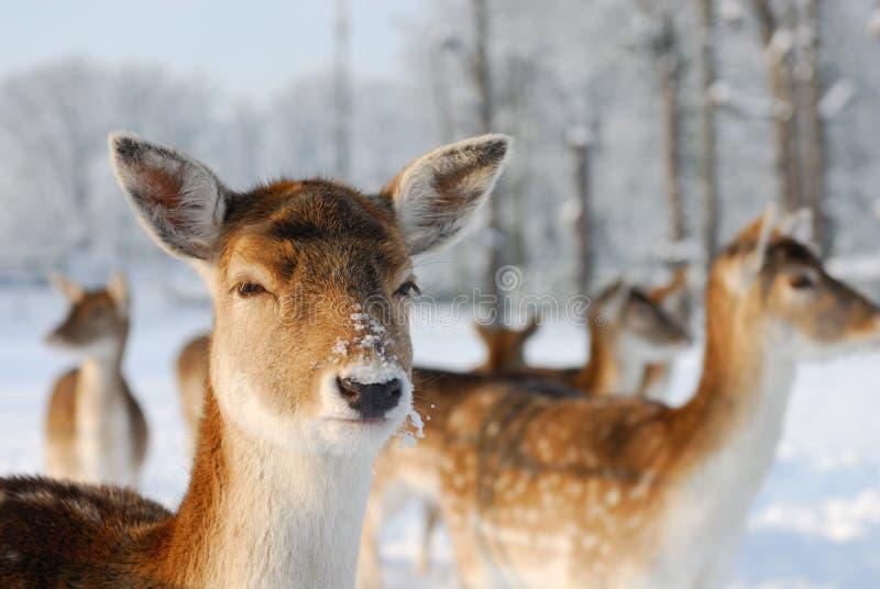Cerfs communs mignons en hiver image stock