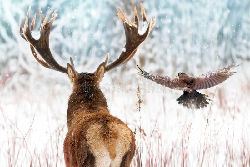 Cerfs communs nobles avec de grands klaxons et corbeau en vol dans une image d'hiver de Noël de forêt de féerie d'hiver photographie stock libre de droits