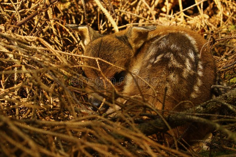 Cerfs communs nouveau-nés minuscules de bébé image libre de droits