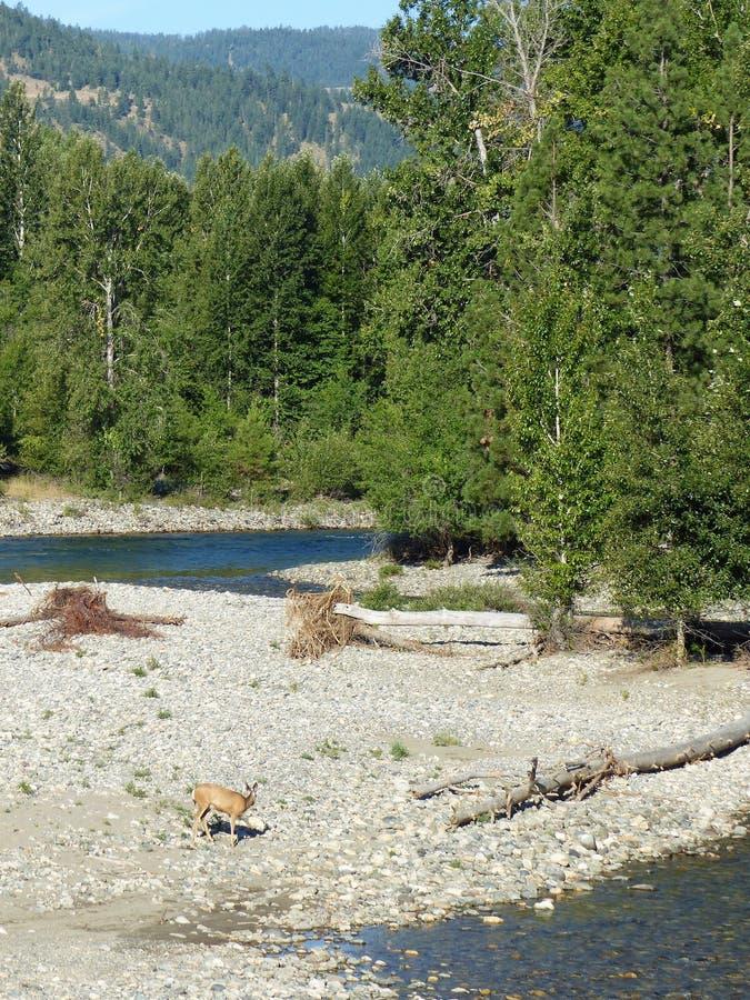 Cerfs communs par la rivière de Methow dans Winthrop WA photos stock