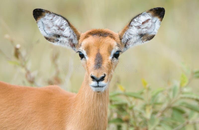 cerfs communs petits image stock