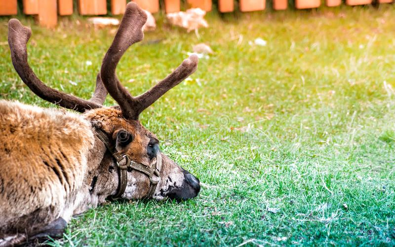 Cerfs communs polaires somnolents se trouvant sur l'herbe verte photos stock