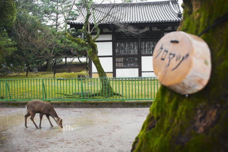 Cerfs communs potables, Nara Park, Japon image libre de droits