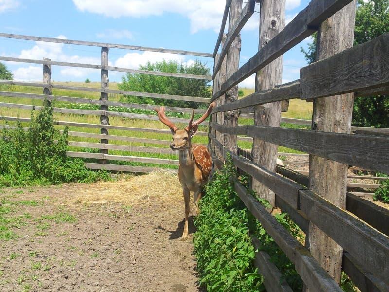 Cerfs communs près de la barrière et des arbustes image libre de droits