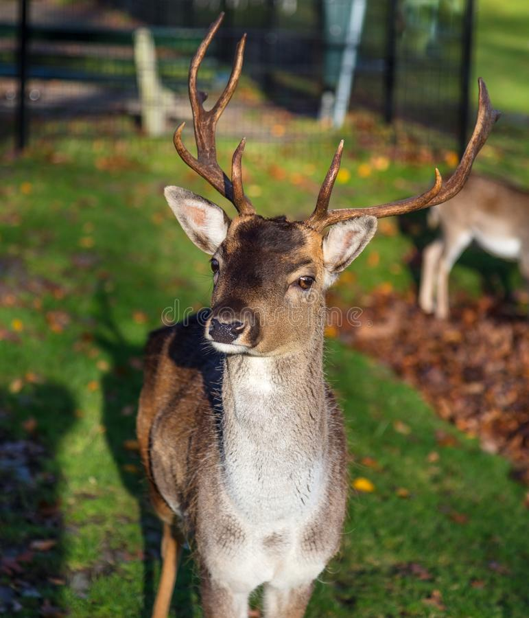 Cerfs communs regardant l'appareil-photo image stock