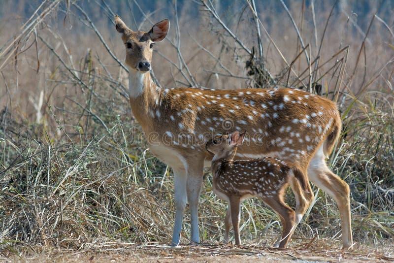 Cerfs communs repérés avec le faon photo stock