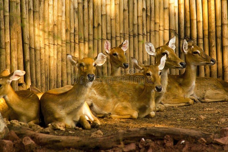 Cerfs communs repérés dans le zoo photos libres de droits