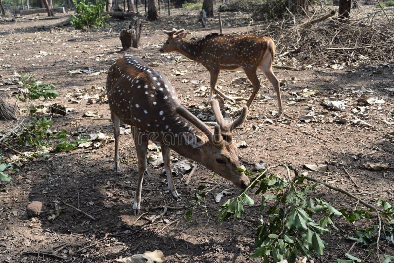 Cerfs communs repérés en atmosphère de forêt dans le coorg photos stock