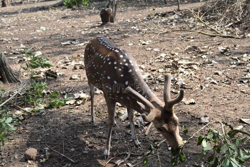 Cerfs communs repérés en parc zoologique dans le coorg images libres de droits