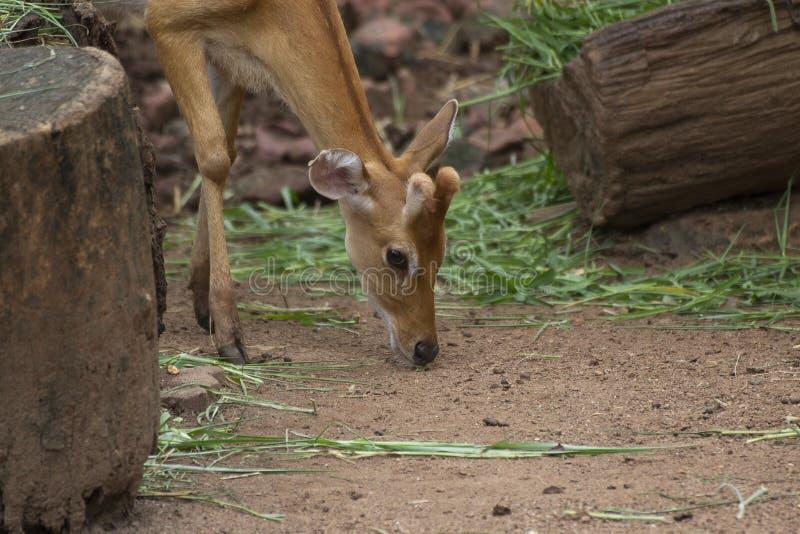 Cerfs communs repérés frôlant sur le champ dans la jungle, zoo, axe, Wildlif photo stock