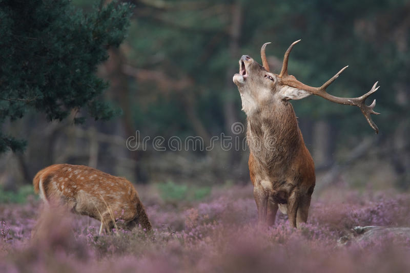 Cerfs communs rouges images stock