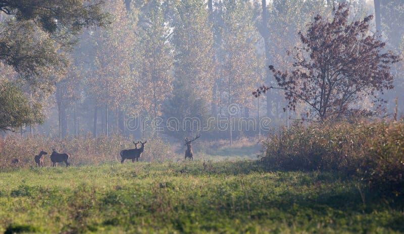 Cerfs communs rouges avec des hinds dans la forêt photographie stock