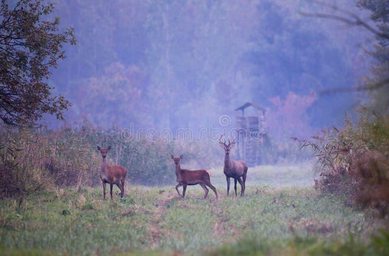 Cerfs communs rouges avec des hinds dans la forêt images libres de droits