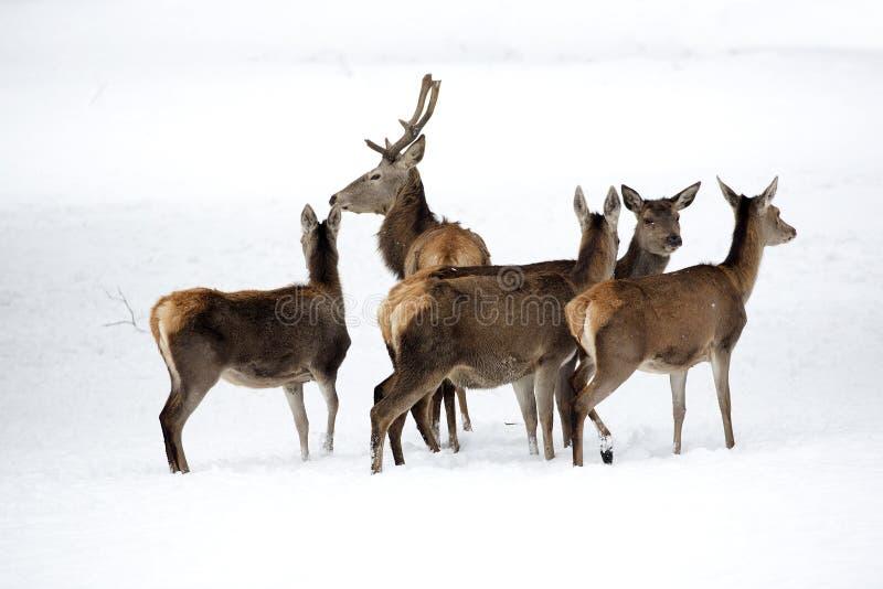 Cerfs communs rouges avec la famille photos libres de droits