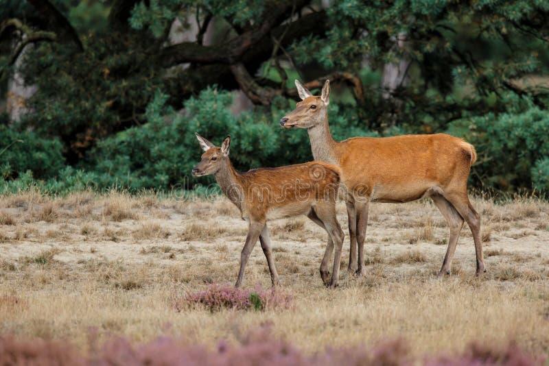 Cerfs communs rouges avec le veau image libre de droits