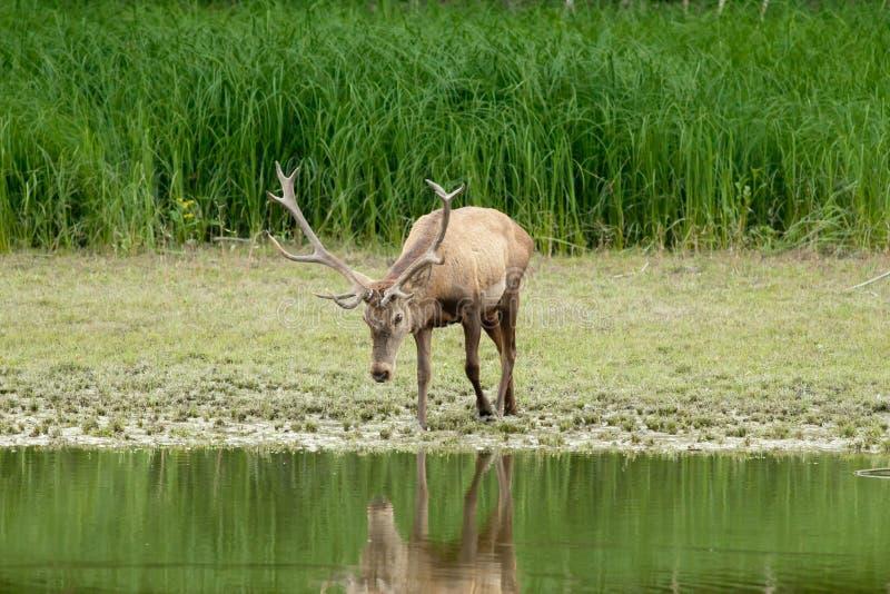 Cerfs communs rouges dans l'eau image stock