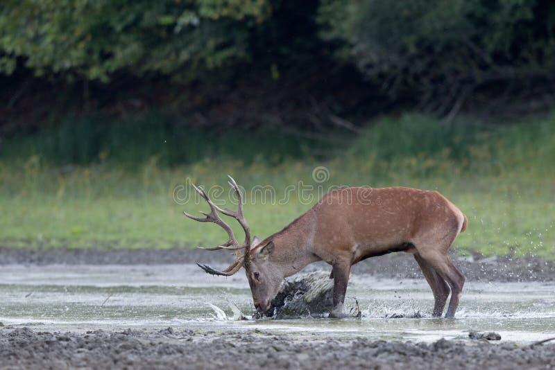 Cerfs communs rouges dans l'eau photo libre de droits
