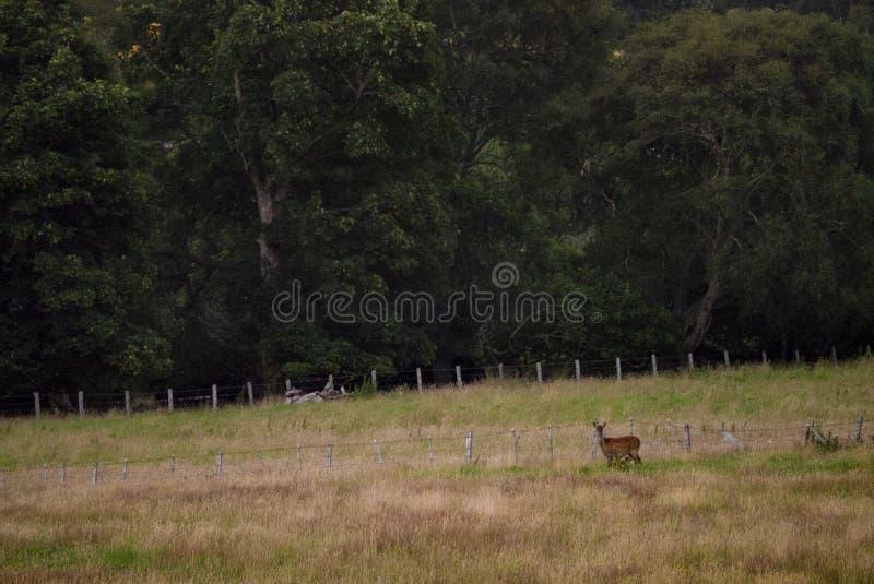 Cerfs communs rouges de derrière dans les terres cultivables dans les montagnes écossaises image stock