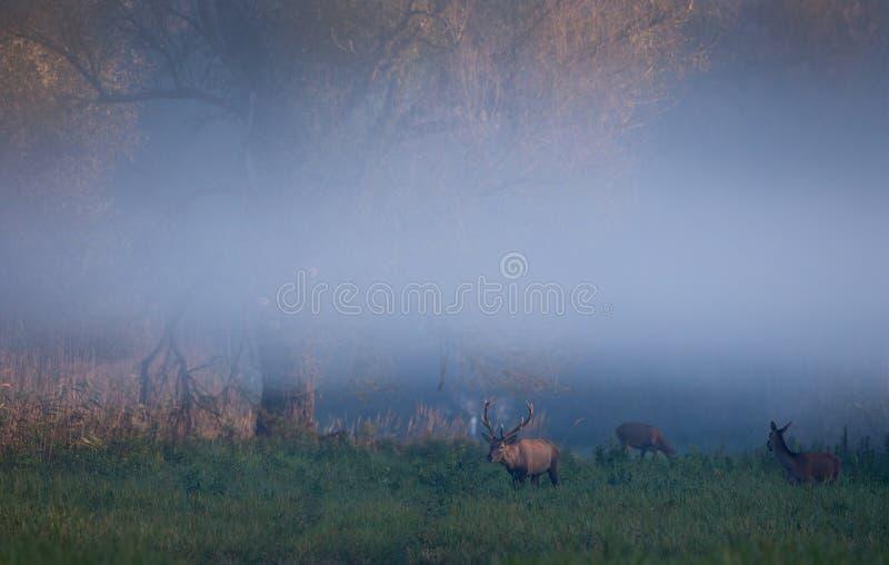 Cerfs communs rouges et hinds dans la forêt photos stock