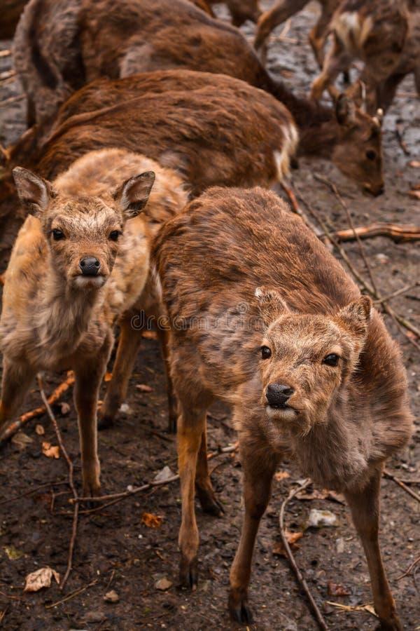 Cerfs communs rouges et troupeau de faons photos libres de droits