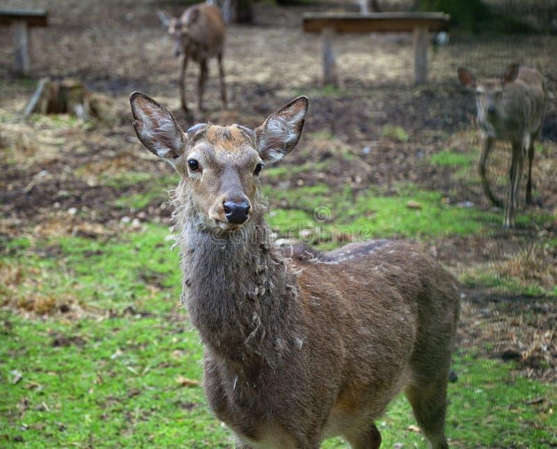 Cerfs communs rouges européens en nature photos stock