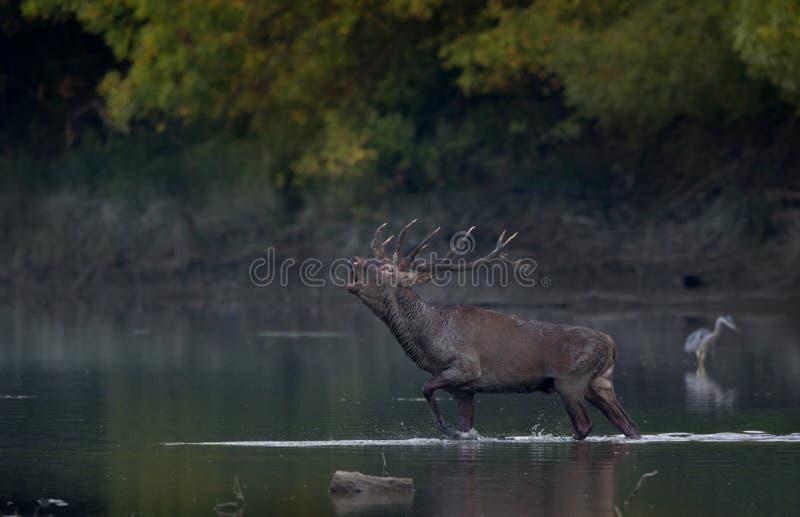 Cerfs communs rouges hurlant dans l'eau photos libres de droits