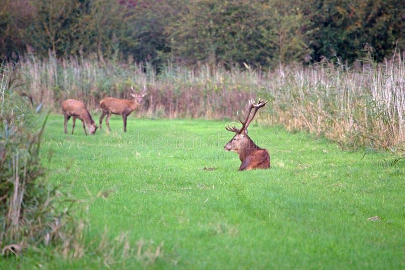 Cerfs communs rouges se situant dans l'herbe images libres de droits