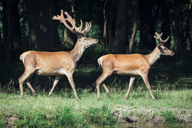 Cerfs communs rouges sur un marge de forêt photos libres de droits