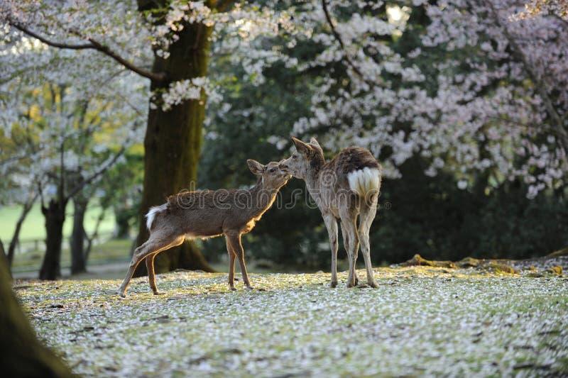 Cerfs communs sacrés du Japon, pendant la saison de fleur de cerise photos stock