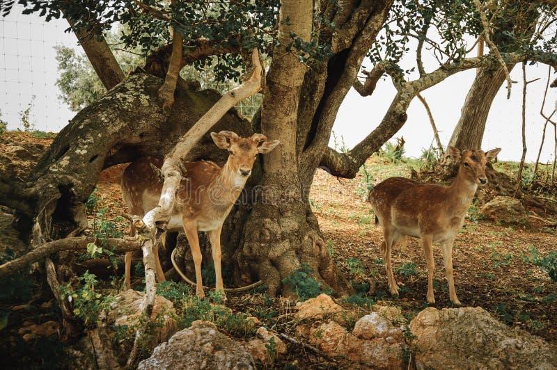Cerfs communs sauvages photo libre de droits