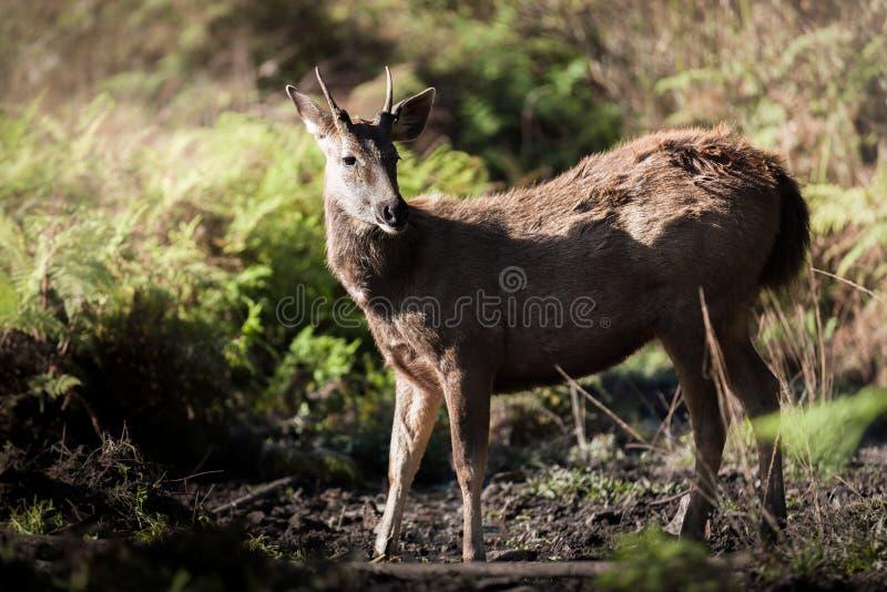 Cerfs communs sauvages dans la forêt images libres de droits