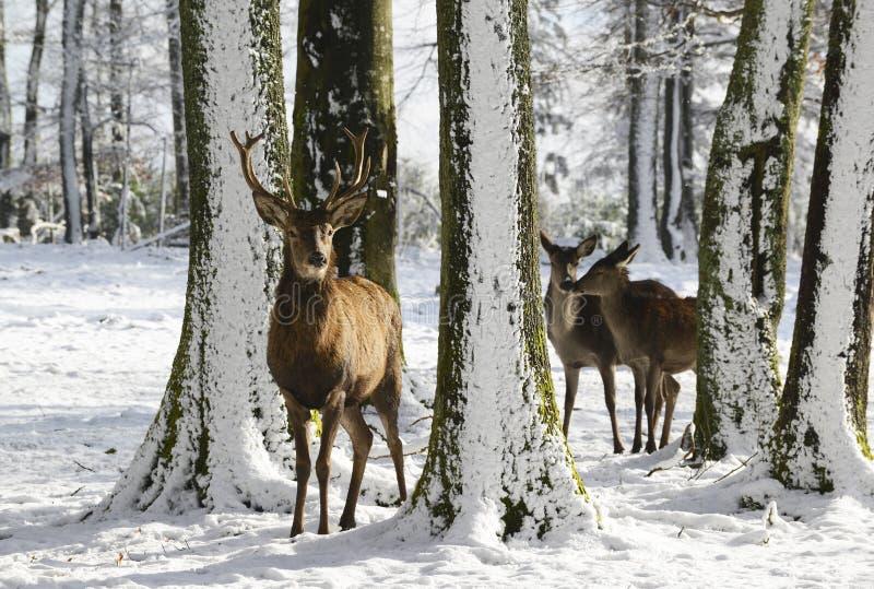 Cerfs communs sauvages entre les arbres, en parc d'hiver avec la neige fraîche photo libre de droits