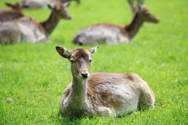 Cerfs communs se situant dans l'herbe image stock