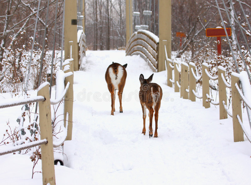Cerfs communs sur une passerelle en hiver photographie stock