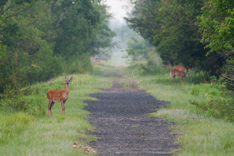 Cerfs communs sur une traînée dans le début de la matinée photo libre de droits