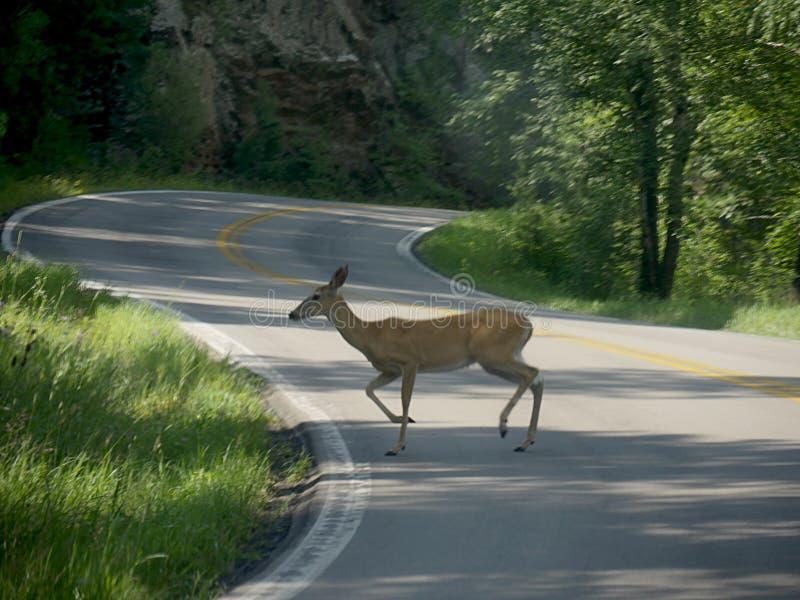 Cerfs communs traversant la route photo stock