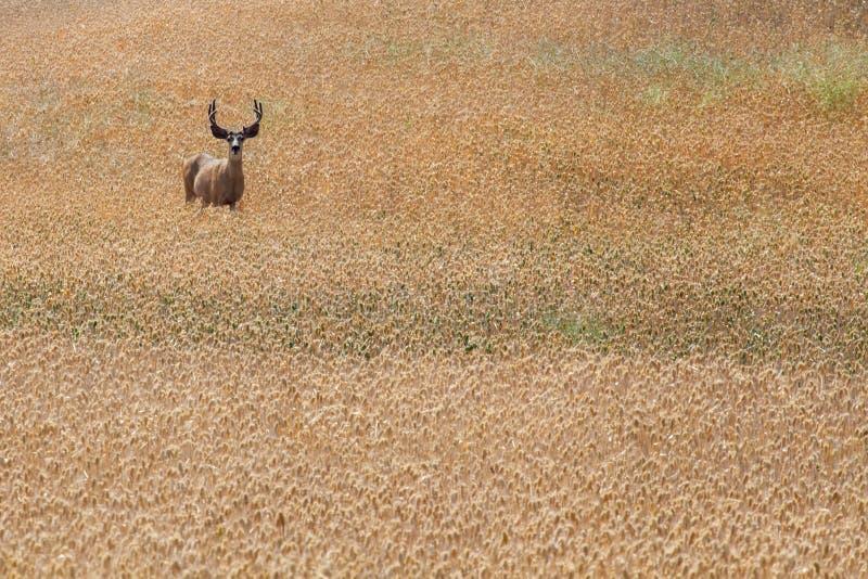Cerfs communs vigilants dans le domaine photographie stock libre de droits