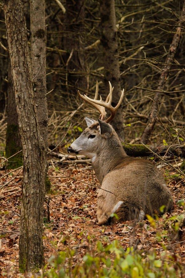 Cerfs de Virginie Buck Bedded During Fall Rut images stock