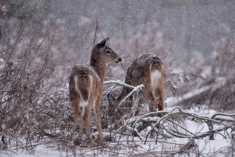 Cerfs de Virginie dans la neige photo libre de droits
