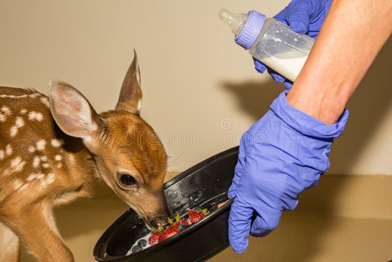 Cerfs de Virginie Fawn Rehabilitation images stock